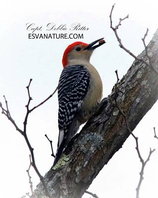 Photograph - Red-bellied Woodpecker 9833 by Captain Debbie Ritter