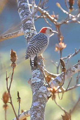 Red Bellied Woodpecker Art Print by Alan Lenk