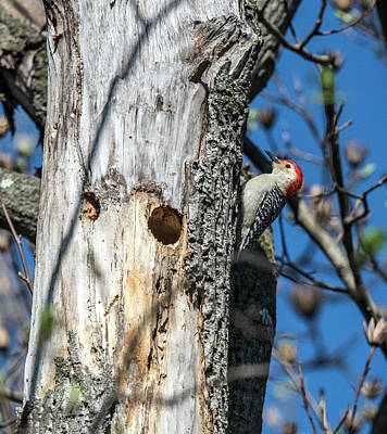 Photograph - Red-bellied Woodpecker At His Home by William Bitman