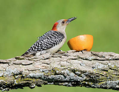 Photograph - Red-bellied Woodpecker At The Feeder by Ricky L Jones