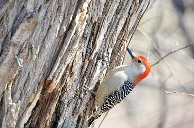 Photograph - Red Bellied Woodpecker by Bonfire Photography