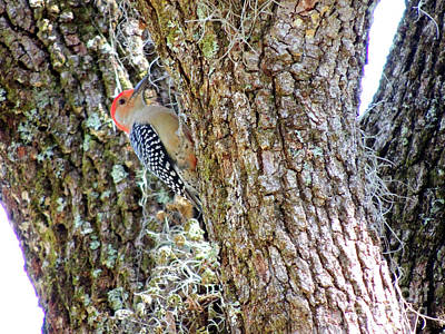 Photograph - Red-bellied Woodpecker By Bill Holkham by Bill Holkham