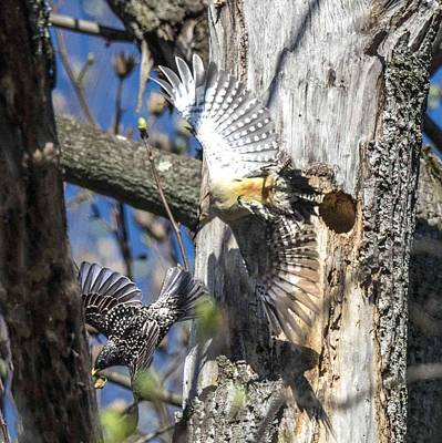 Photograph - Red Bellied Woodpecker Chasing An Attacking Starling by William Bitman