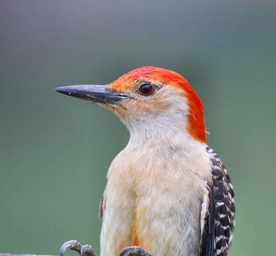 Photograph - Red Bellied Woodpecker by Dan Sproul
