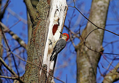 Photograph - Red Bellied Woodpecker by Debbie Oppermann