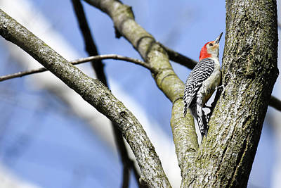 Photograph - Red-bellied Woodpecker by Gary Wightman