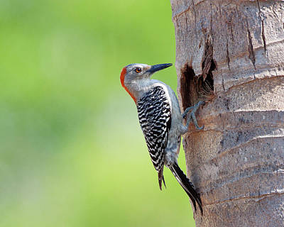Red-bellied Woodpecker Art Print by Guillermo Armenteros, Dominican Republic.