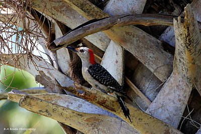 Red-bellied Woodpecker Hides On A Cabbage Palm Art Print by Barbara Bowen
