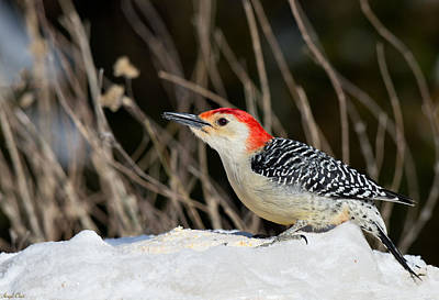 Photograph - Red-bellied Woodpecker In The Snow by Angel Cher