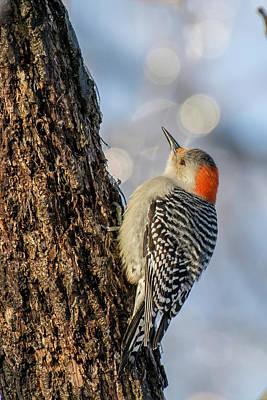 Red-bellied Woodpecker Art Print by Irwin Seidman