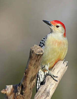 Jim Nelson Photograph - Red-bellied Woodpecker by Jim Nelson