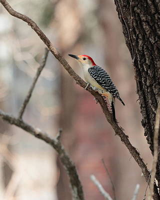 Red-bellied Woodpecker Art Print