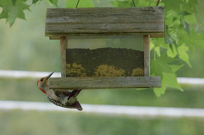 Photograph - Red Bellied Woodpecker by Judy Hall-Folde
