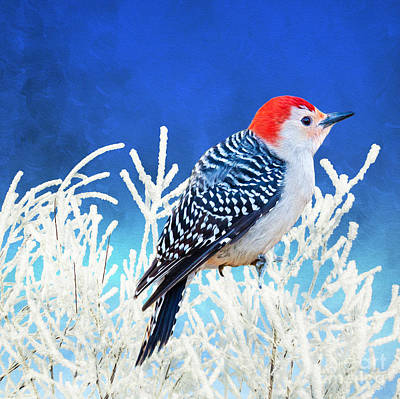 Woodpecker Wall Art - Photograph - Red-bellied Woodpecker by Laura D Young