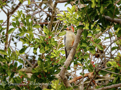 Photograph - Red Bellied Woodpecker by Les Greenwood