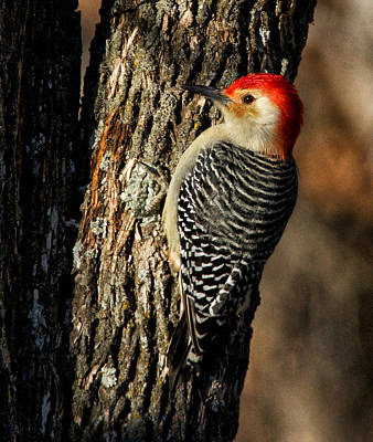Photograph - Red Bellied Woodpecker Male by Linda Shannon Morgan