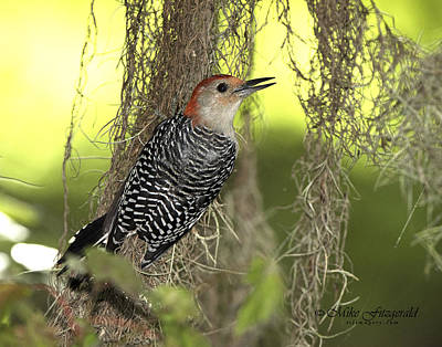 Photograph - Red-bellied Woodpecker by Mike Fitzgerald