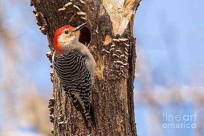 Nikki Vig Royalty-Free and Rights-Managed Images - Red-bellied Woodpecker by Nikki Vig