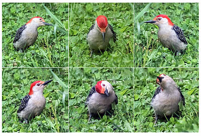 Photograph - Red-bellied Woodpecker Posing In The Grass by William Bitman