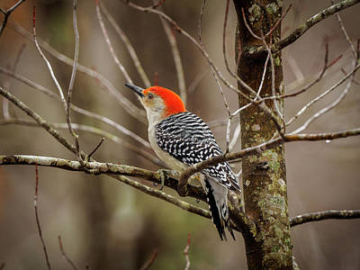Photograph - Red Bellied Woodpecker by Timothy Harris