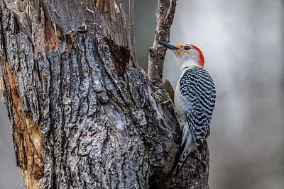 Photograph - Red Bellied Woody by Paul Freidlund
