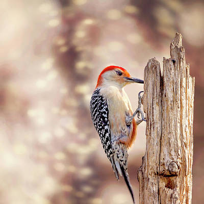 Red Bellied Woodpecker Photograph - Red Belly Soft Bokeh by Bill Tiepelman