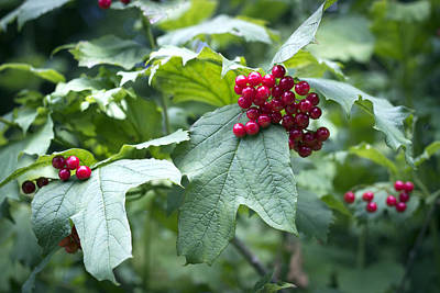 Photograph - Red Berries by Helga Novelli