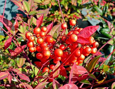 Photograph - Red Berries In Fall by Robert Meyers-Lussier