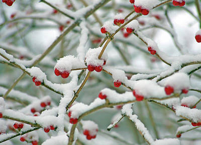 Photograph - Red Berries In Snow by Ellen Henneke