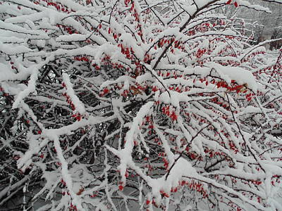 Montreal Winter Scenes Photograph - Red Berries In The Snow by Pilaf The Flapezoid