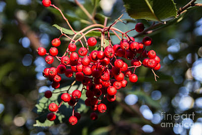 Photograph - Red Berries by Suzanne Luft