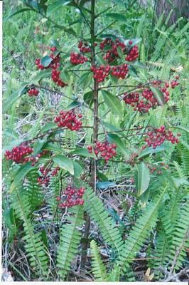 Red Berries Art Print by Tara Kearce