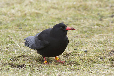 Islay Photograph - Red-billed Chough by Michael Durham/FLPA