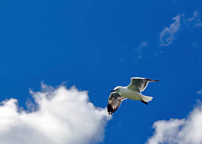Photograph - Red Billed Gull by Nicholas Blackwell