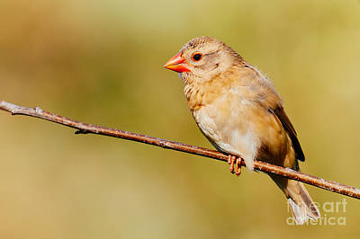 Photograph - Red-billed Quelea In A Forest by Nick  Biemans