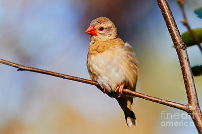 Photograph - Red-billed Quelea On A Branch by Nick  Biemans