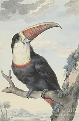 Red Billed Toucan, 1748  Art Print
