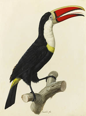 Toucan Drawing - Red-billed Toucan by Jacques Barraband