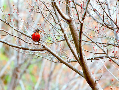 Photograph - Red Bird by Bonnie Bruno