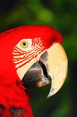 Photograph - Red Bird by Daniel Thompson