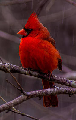 Photograph - Red Bird by John Harding