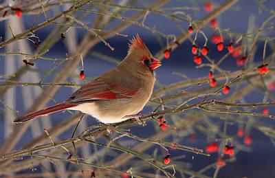 Thomas Kinkade - Red Bird Red Fruit by Debbie Oppermann