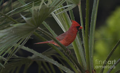 Photograph - Northern Red Cardinal In Palm by Dale Powell