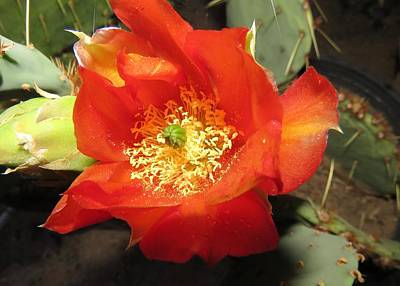Photograph - Red Bloom 1 - Prickly Pear Cactus by Judy Kennedy