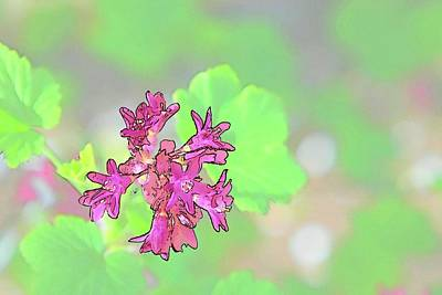 Photograph - Red Blossoms Sketch 2 by Jerry Sodorff