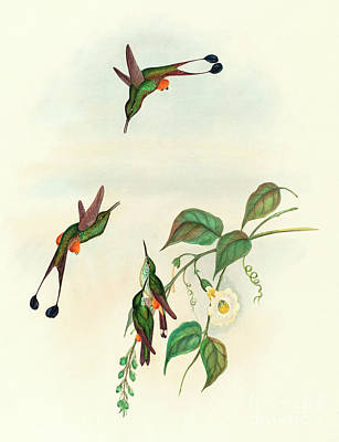 Flock Of Bird Drawing - Red Booted Racket Tail by John Gould