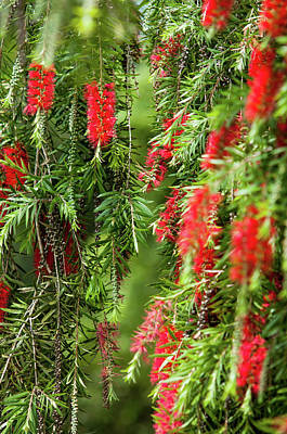 Photograph - Red Bottlebrushes by Jenny Rainbow