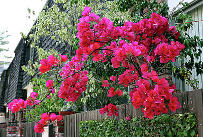 Photograph - Red Bougainvillea by Gene Parks