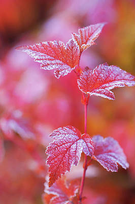 Photograph - Red Branch With Frosted Leaves Of Physocarpus  by Jenny Rainbow