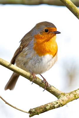 Photograph - Red Breast  by Gary Bridger